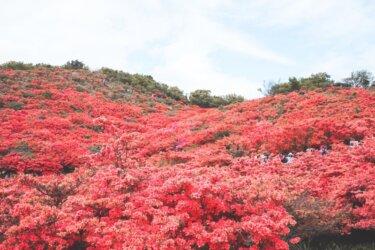 自然のツツジが広がる絶景!葛城山ハイキングコース